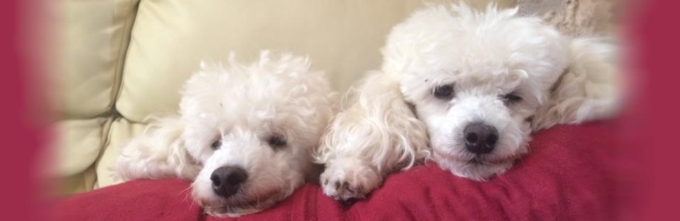 cuccioli-bishon-frise-veterinario.jpg